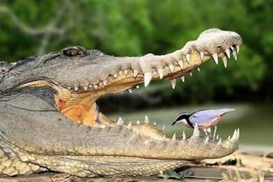 symbiose-croc